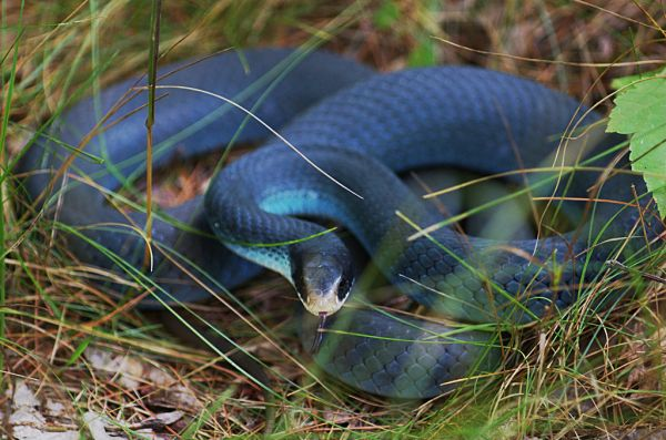 Blue Racer | Coluber constrictor-foxi photo