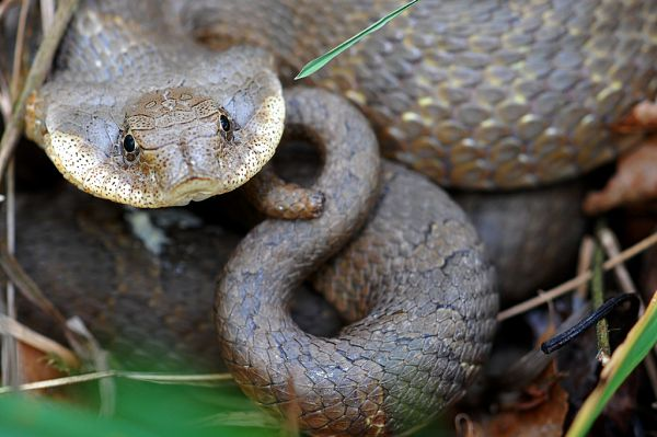 Eastern Hognose Snake | Heterodon platirhinos photo