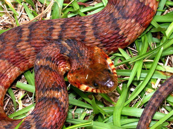 Banded Water Snake | Nerodia fasciata-fasciata photo
