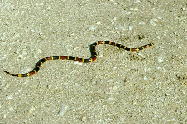 Eastern Coral Snake | Micrurus fulvius photo