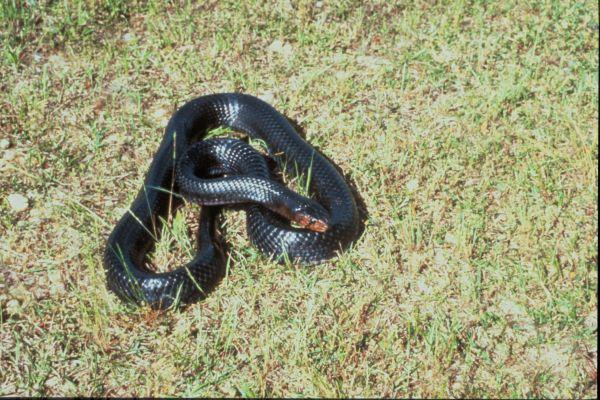Eastern Indigo Snake | Drymarchon corais-couperi photo
