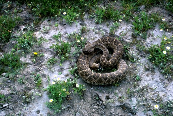 Western Diamondback Rattlesnake | Crotalus atrox photo