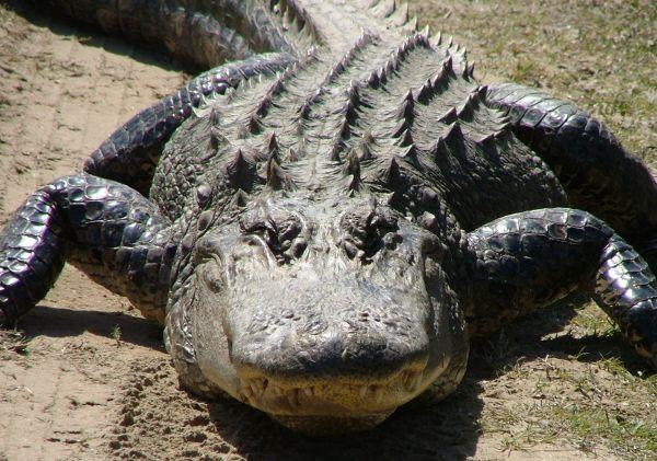 American Alligator | Alligator mississipiensis photo