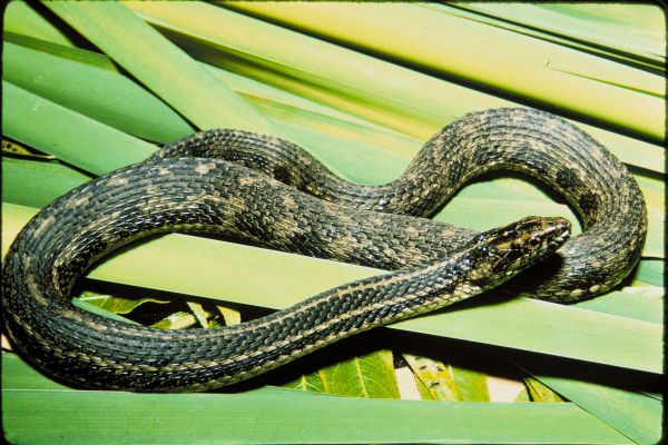 Atlantic Salt Marsh Snake   Nerodia clarkii-taeniata photo