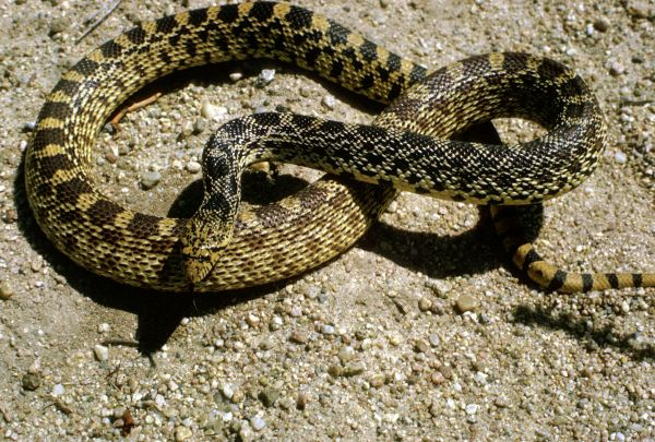 Bullsnake | Pituophis catenifer-sayi photo