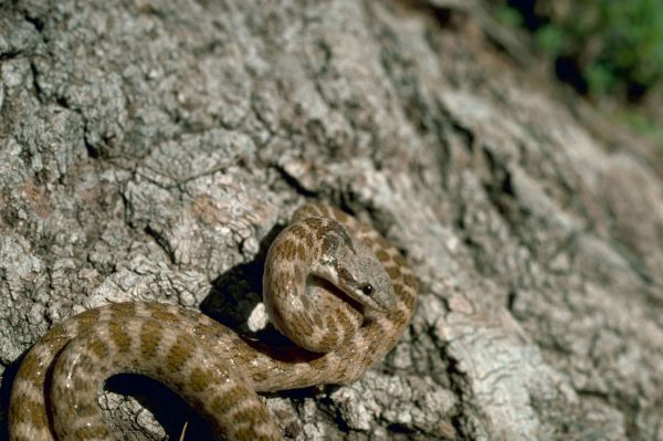 Night Snake | Hypsiglena torquata photo