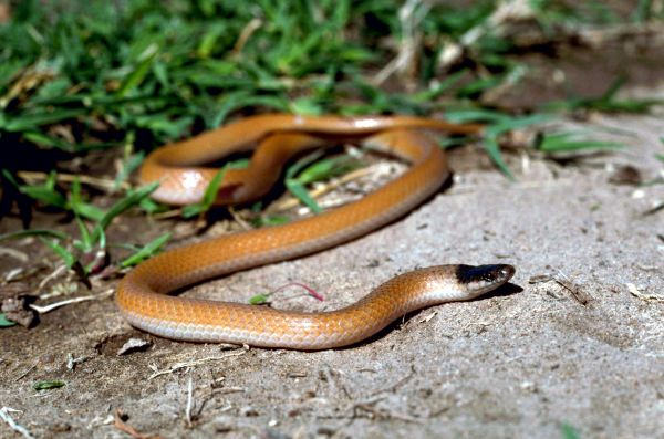 Plains Blackhead Snake   Tantilla nigriceps photo