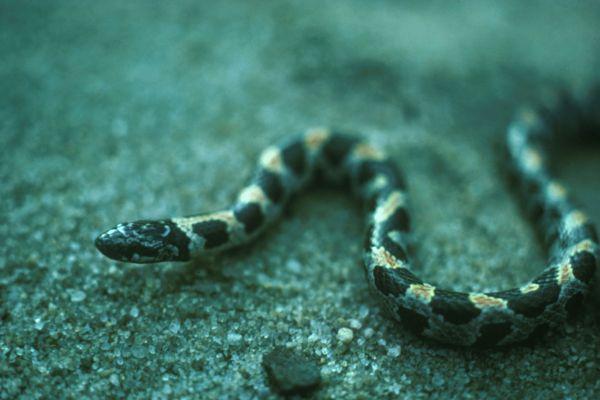 Short-tailed Snake   Stilosoma extenuatum photo