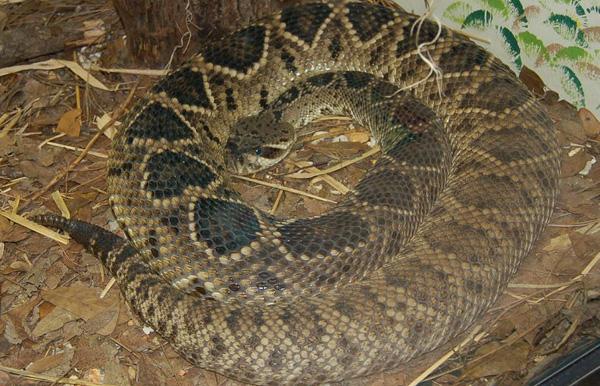 Eastern Diamondback Rattlesnake   Crotalus adamanteus photo