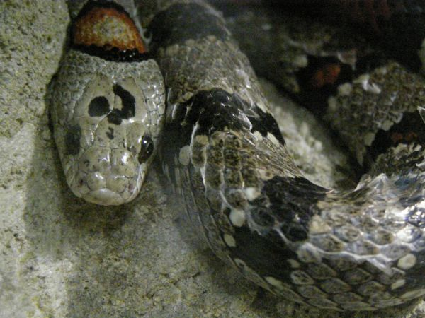 Mexican Kingsnake | Lampropeltis mexicana-mexicana photo