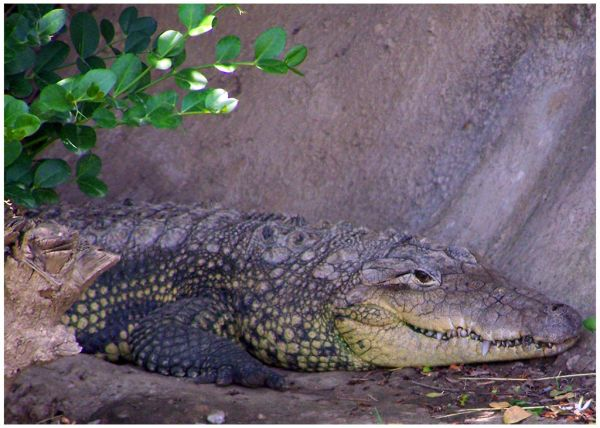 Morelet's Crocodile | Crocodylus moreletii photo