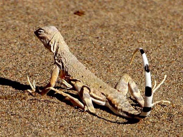 Zebratail Lizard | Callisaurus draconoides photo