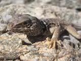 Mojave Black Collared Lizard