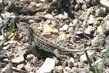 Lesser Earless Lizard