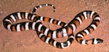 San Diego Mountain Kingsnake