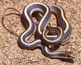 Coast Patch-Nosed Snake