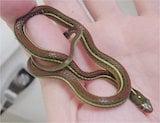 Redstripe Ribbon Snake