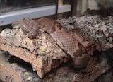 Texas Lyre Snake