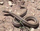 Texas Lined Snake