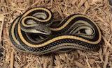 Mountain Patchnose Snake