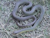 Eastern Yellow-belly Racer