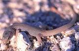 Desert Night Lizard