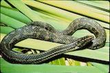 Atlantic Salt Marsh Snake
