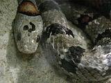 Mexican Kingsnake