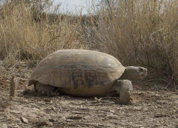 Bolson Tortoise | Gopherus flavomarginatus photo