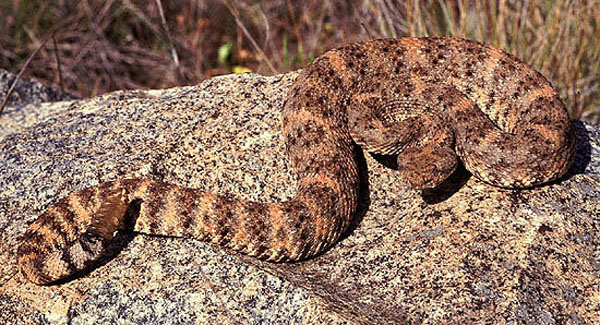 Southwestern Speckled Rattlesnake | Crotalus mitchellii-pyrrhus photo