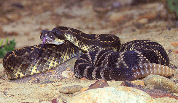 Southern Pacific Rattlesnake   Crotalus oreganus-helleri photo
