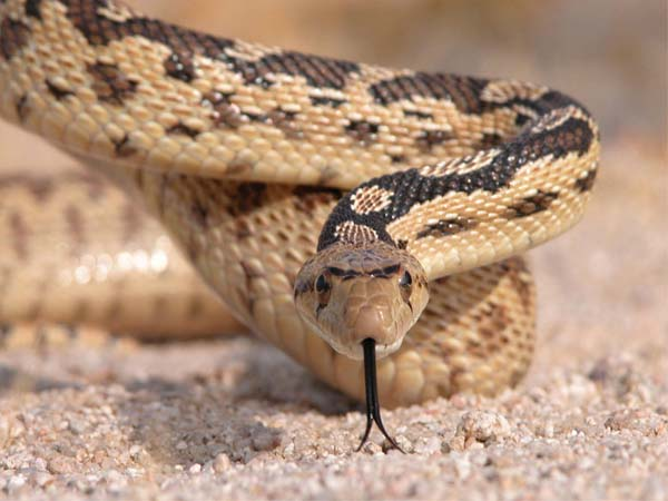 Great Basin Gopher Snake | Pituophis catenifer-deserticola photo