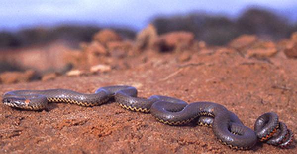 Western Ringneck Snake | Diadophis punctatus photo