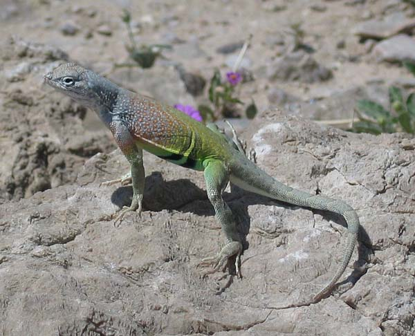 Greater Earless Lizard | Cophosaurus texanus photo