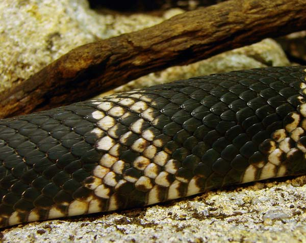 Pine Snake | Pituophis melanoleucus photo