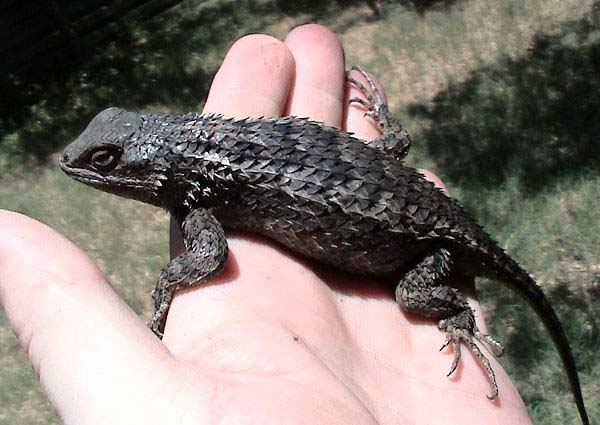 Texas Spiny Lizard | Sceloporus olivaceus photo